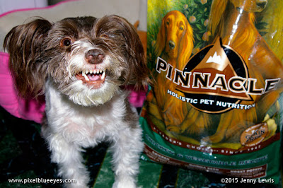 "Pixel Blue Eyes - Her ""Tails of Adventure"": Pixel's Adventures in Eating the Best Natural Food for #PinnacleHealthyPets"