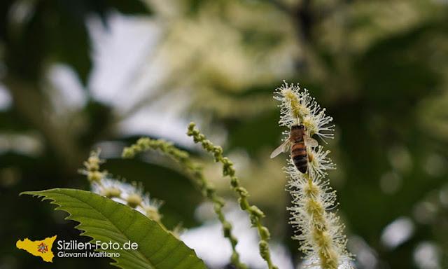 Biene sammelt Nektar der sizilianischen Esskastanie