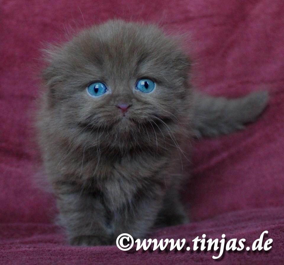 Highland Fold Kitten chocolate 2017 05 20 112