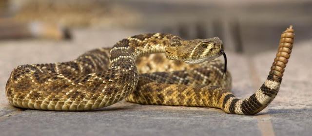 Descubre lo que contiene el cascabel de una serpiente