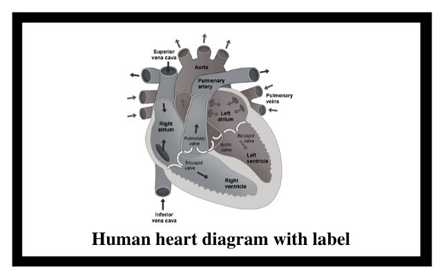 human heart diagram with label