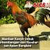 Manfaat Kunyit Untuk Perkembangan dan Kesehatan Ayam Bangkok