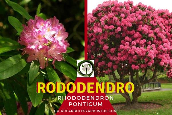 El Rododendro u ojaranzo, Rhododendron ponticum, es una árbol de apenas 5 de altura