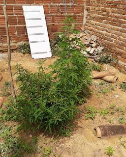 Polícia encontrou crack, balança de precisão e até plantação de maconha na casa de acusado de homicídio em Cuité
