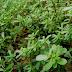 """Aντράκλα , ένα παρεξηγημένο φυτό το οποίο έχει χαρακτηριστεί από τους ερευνητές """"παγκόσμια πανάκεια"""""""