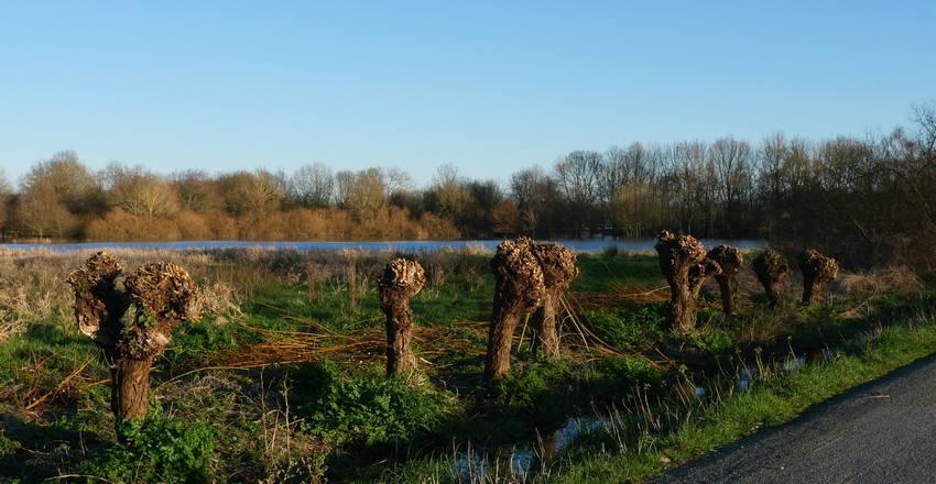 Osier pour les paniers en pays de marais