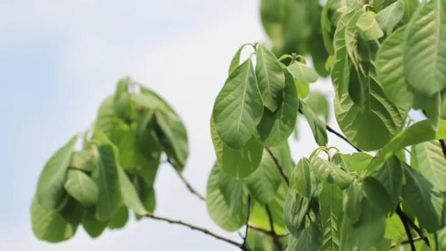 ใบหมี่ (Litsea Glutinosa) สมุนไพรรักษาผมร่วง, ผมร่วง, ผมบาง, หัวล้าน, ปลูกผม, อาหารลดผมร่วง, อาหารผม, วิธีรักษาผมร่วง, ปัญหาผมร่วง, แก้ปัญหาผมร่วง, herb for hair loss