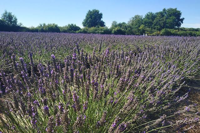 Belgium Lavender Fields Limburg Lavendel