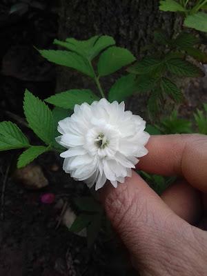 Hoa hồng tầm xuân bắc