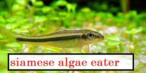 Siamese Algeneter