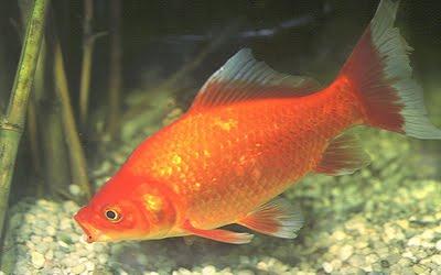 Te lo digo y te lo comento peces de agua dulce colores for Peces de acuario agua dulce fria