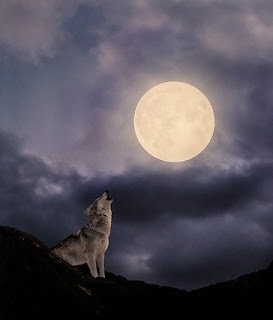 Iarna, mai ales in ianuarie, lupii urla mai mult si mai des pentru ca e perioada de imperechere
