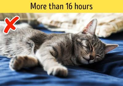 Mèo ngủ trên 16h/ngày là bất thường