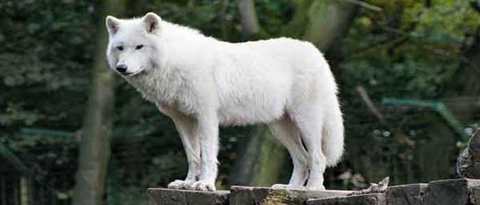 Macam-Macam Serigala Berbulu Domba