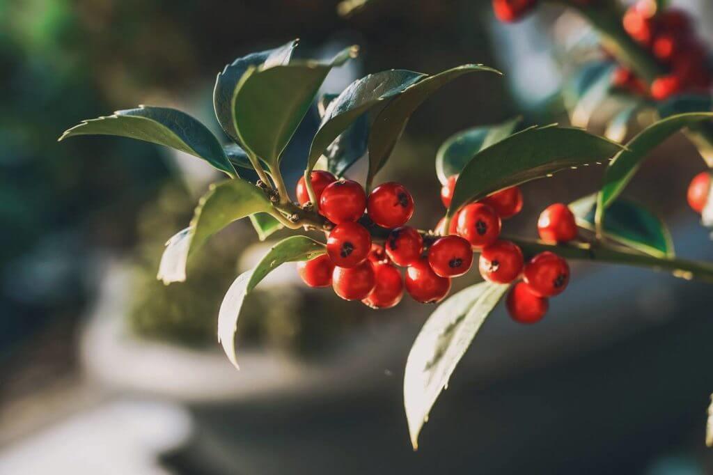 Holly, winterberry tree