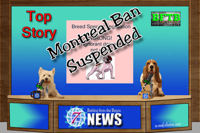 BFTB NETWoof News Top Story: Montreal has suspended its ban on Pit Bull dogs