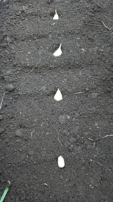 種ニンニクの植え付け間隔