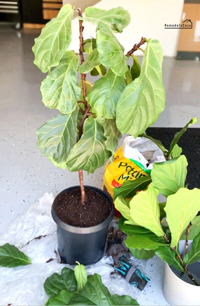 how to trim a fiddle leaf fig tree