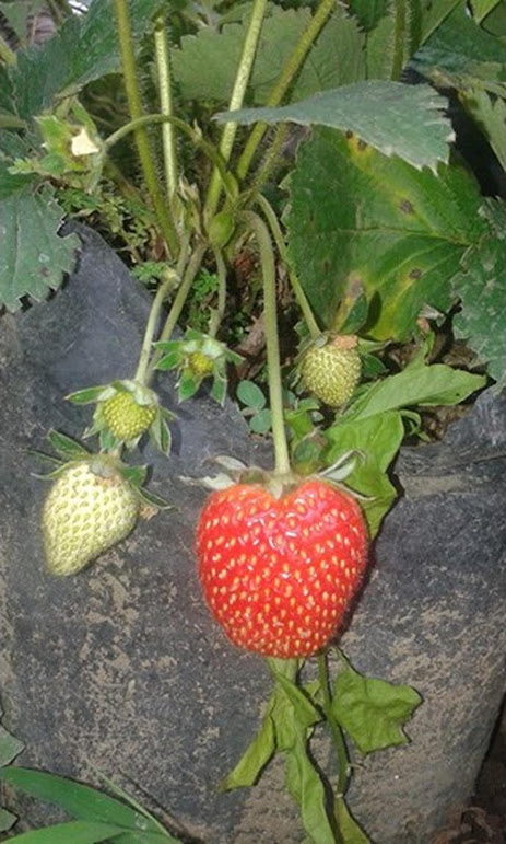 tanaman strowberry california berbuah bibit strawberry California Jumbo Termurah Tual
