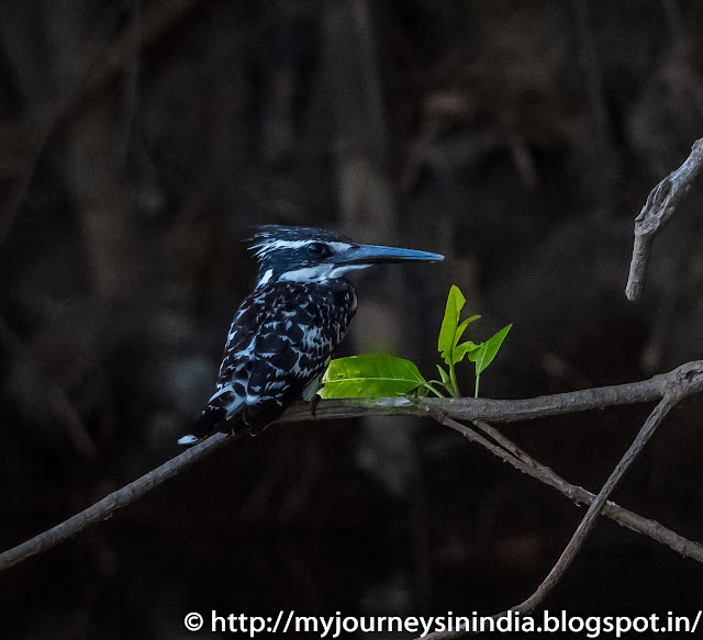 Ranganathittu Birds Pied King Fisher