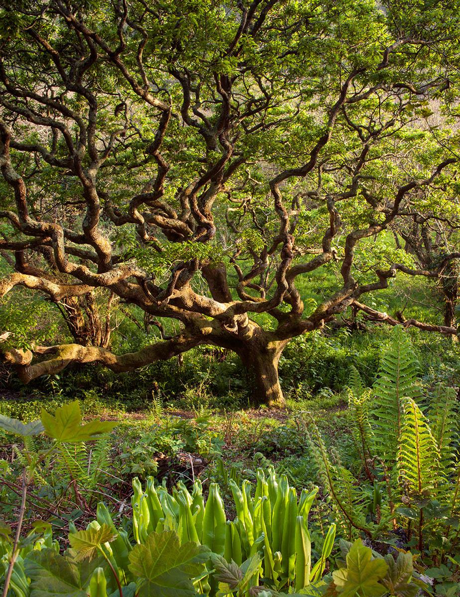 antiguo bosque de robles enanos