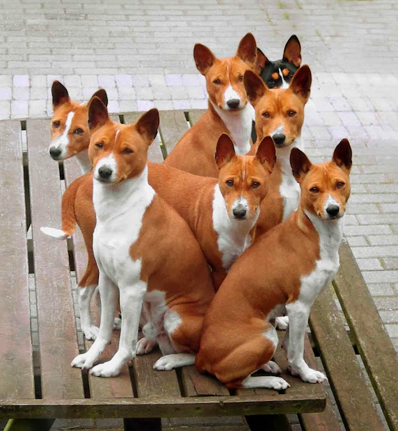 Basenji Puppy Puppies - Year of Clean Water
