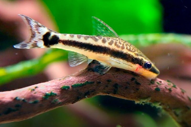 24. Jenis Ikan Hias Aquascape Otocinclus