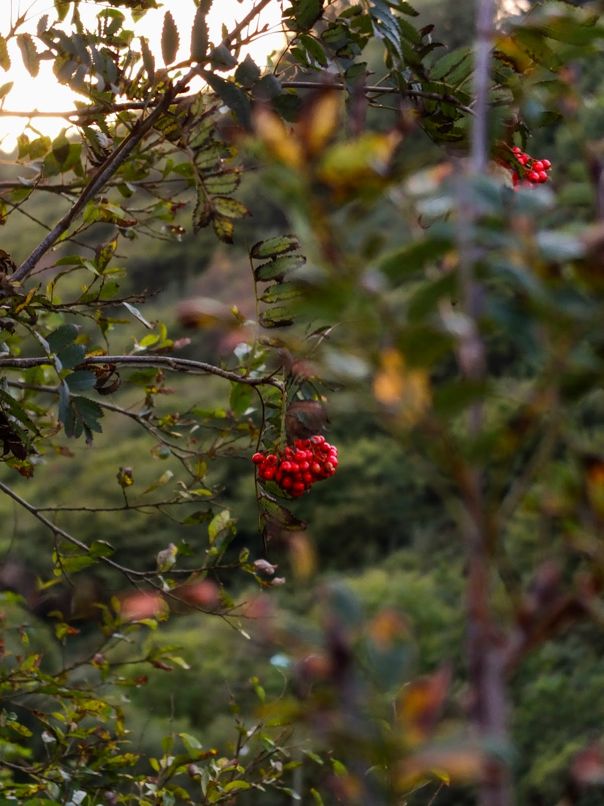 Mountain Ash berries hanging of the tree during a sunset.