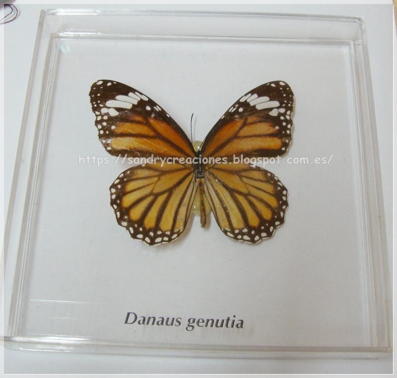 Ejemplo de mariposa real como modelo para hacer el broche mariposa