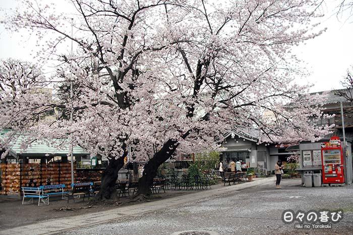vue cour centrale imado jinja cerisiers ornementaux en fleur