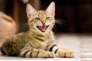 7 razones por las que tu gato puede maullar constantemente