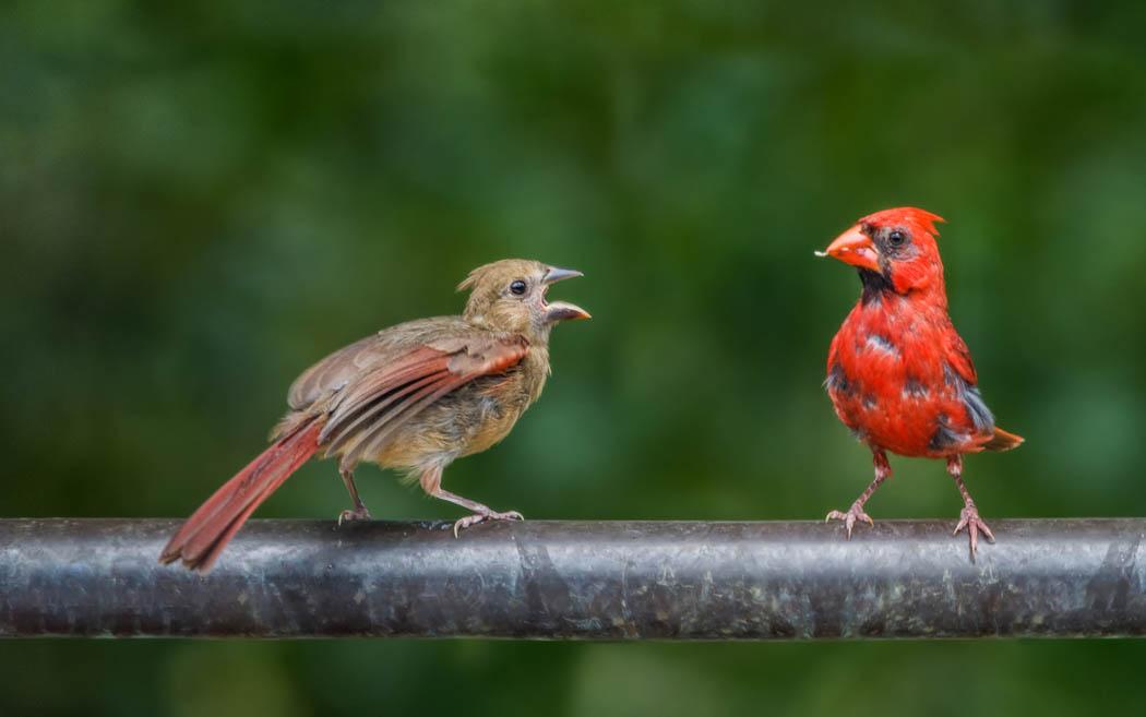 cardinal feeds its fledgling