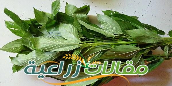كيفية زراعة الملوخية - مقالات زراعية