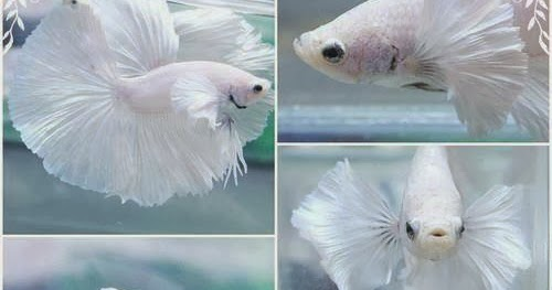 All About Betta Fish Platinum White Halfmoon Dumbo Betta Fish