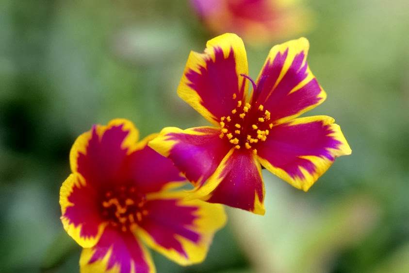 Japanese Rose Portulaca Grandiflora