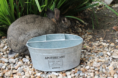 Urine / Bladder infection in rabbits