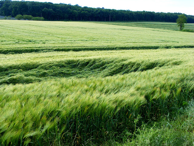Lodged barley.  Indre et Loire, France. Photographed by Susan Walter. Tour the Loire Valley with a classic car and a private guide.