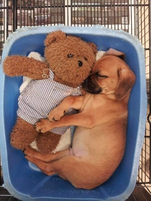 Adorable Puppies Sleeping and Cuddling with Stuffed Animals