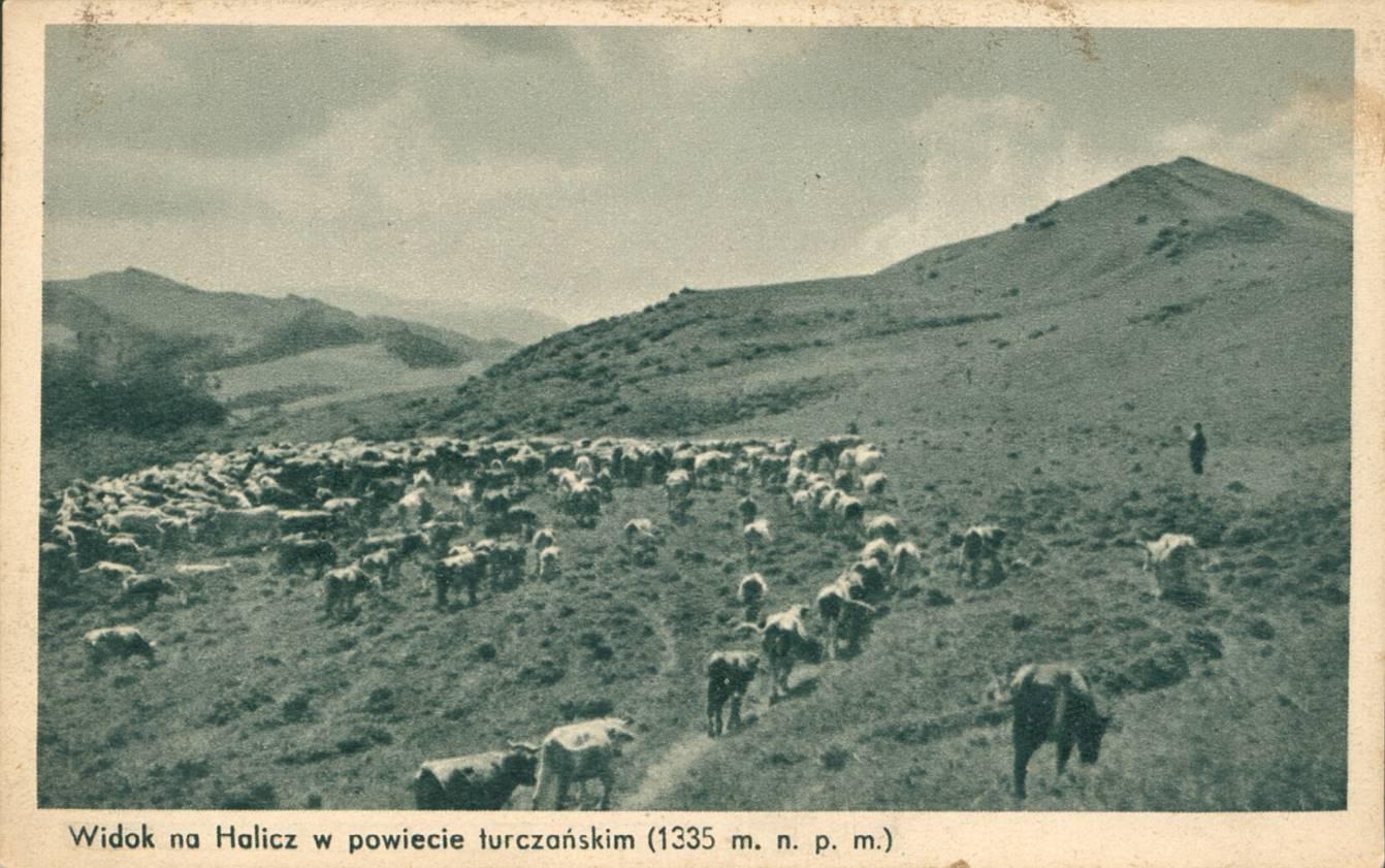 Wypas krów i wołów na Haliczu
