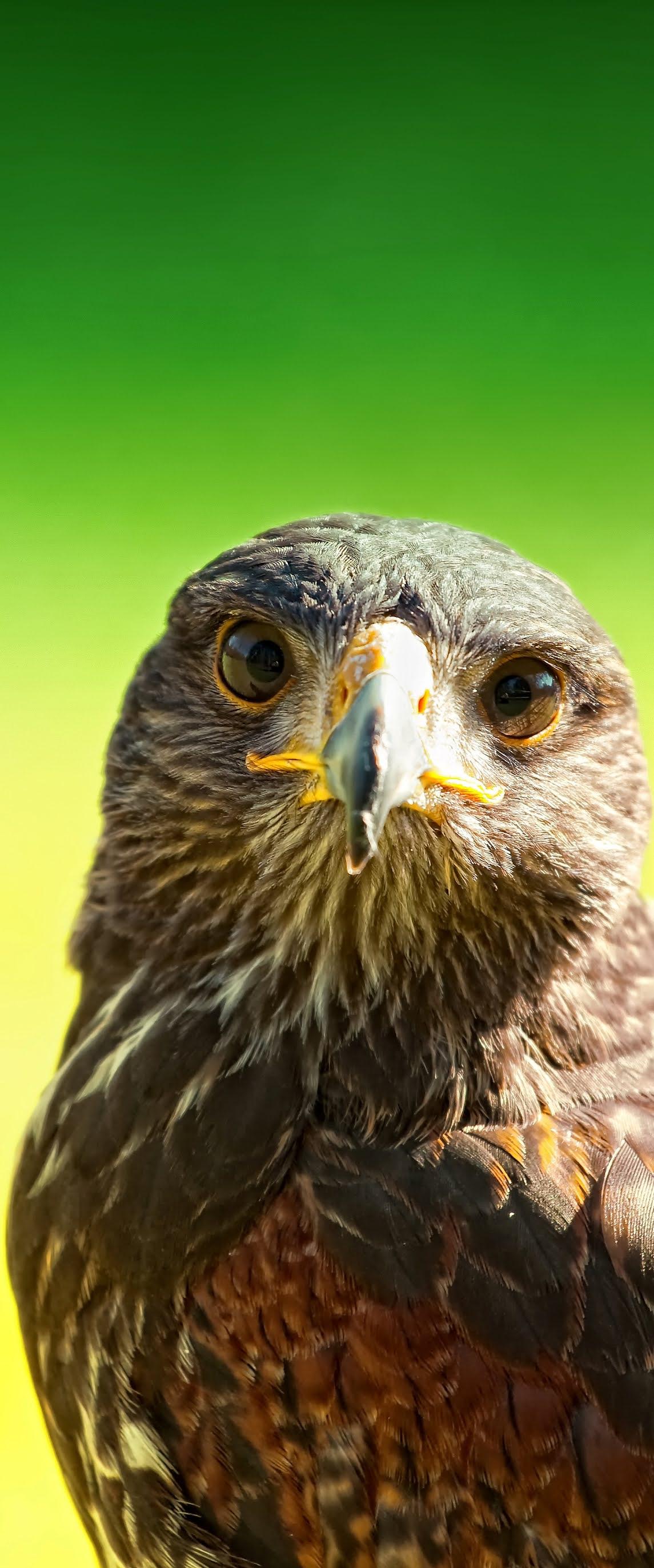 Majestic falcon.