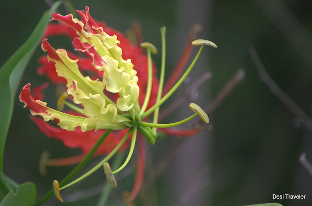 State flower of tamil nadu Gloriosa superba