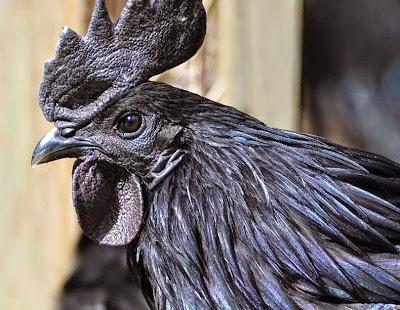 الدجاج الاسود