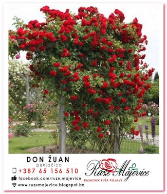 Crvena ruža enjačica Don Žuan