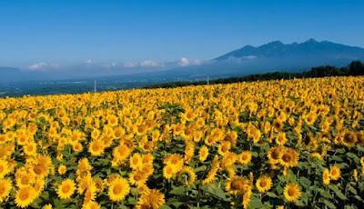 Hokuto City Akeno Sunflower Festival