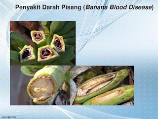 penyakit pada pisang