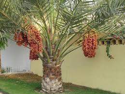 Jual pohon kurma murah  Tukang tanaman korma di indonesia  Tukang Taman