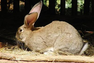 flemish giant breed of rabbit