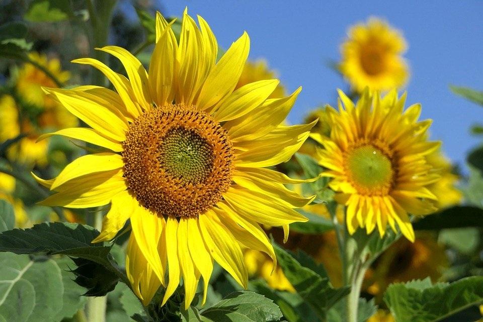 Gambar setangkai bunga matahri