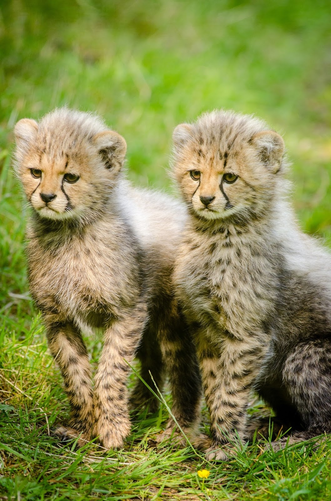 Picture of cheetah cubs.