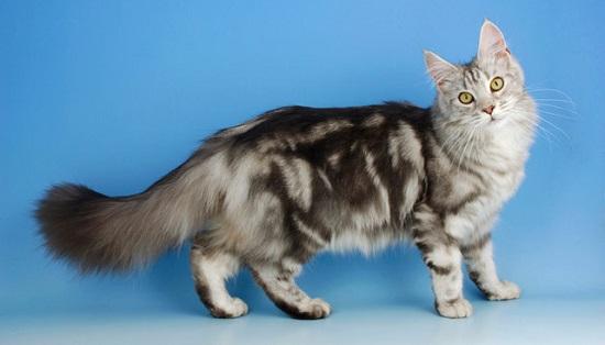 Kucing yang Mudah Dilatih dan Dipelihara